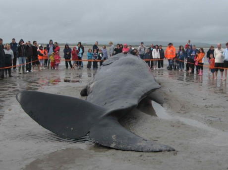 Dead sperm whale looking from tail fin