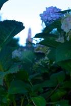Shandon: Behind Flowers