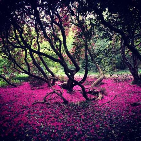 Rhodo flowers