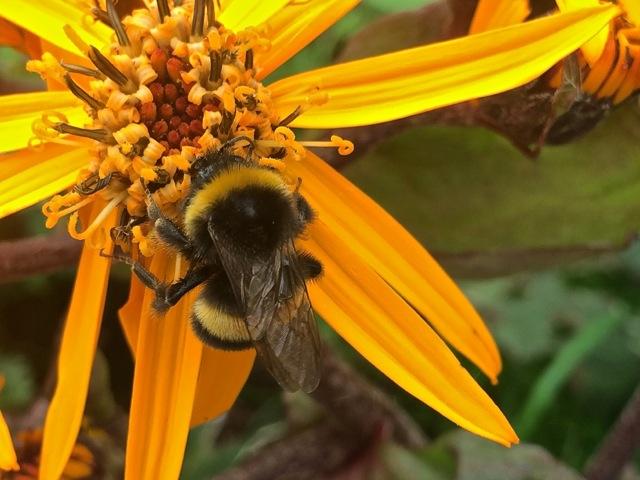 20140814 - Bumblebee1