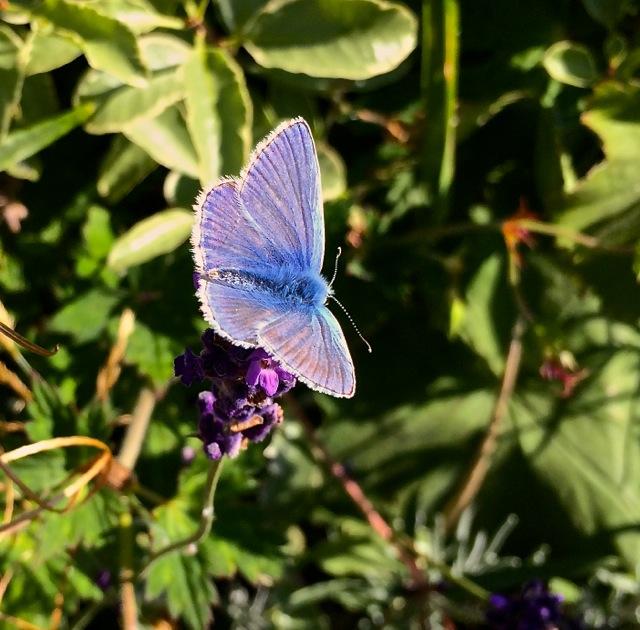 20140814 - Common Blue