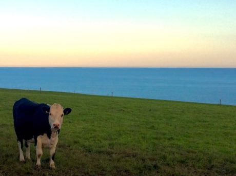 Cow, Churchtown South, Co. Cork