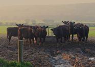Cattle, Shanagarry, Co. Cork