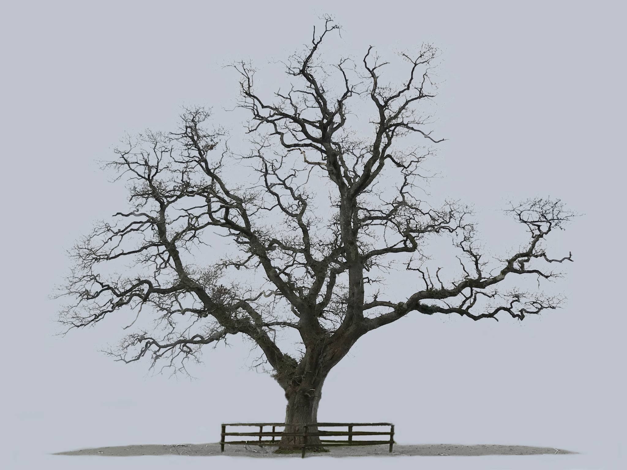 Oak Tree, Castlemartyr
