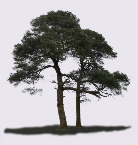 Pine Trees, Castlemartyr Resort